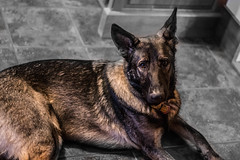 Chewy the Czech (philouweleen) Tags: thanksgiving family dog pet pets puppy star czech shepherd chewy guard police wars chewbacca
