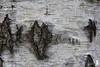 Compotulla (_milo_) Tags: italy canon eos italia manfrotto pianta angera betulla 18135 treppiede 60d