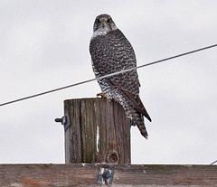 Gyrfalcon (adult, gray phase male) (Keith Carlson) Tags: falcons raptors gyrfalcon falcorusticolus
