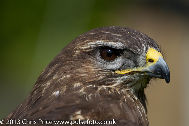 PF0094 Common Buzzard.jpg