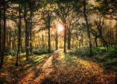Walk Into The Light (Osgoldcross Photography) Tags: wood autumn trees light shadow sun sunlight fern fall grass leaves forest woodland landscape leaf nikon raw path foliage bark fallen trunk bracken canopy glade nikond7100