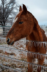 Babe (NutMegMae) Tags: winter horses horse snow ice horsey winterscape icesickles
