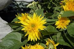 sunflower (ddsnet) Tags: flowers plant sony taiwan cybershot sunflower taipei         rx10  shilinresidencechrysanthemumfestival