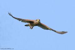 Eurasian Kestrel / Falco tinnunculus / เหยี่ยวเคสเตรล (male) (bambusabird) Tags: bird nature canon thailand natural wildlife raptor tropical chiangmai 500mm grassland kestrel