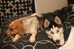 IMG_1414 (ohhsnap_me) Tags: blue rescue dog pet pets beagle dogs husky hound tick