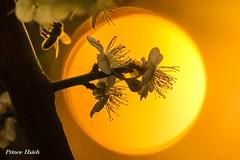 夕照寒梅 - Sunset of Plum Blossoms - Taichung City municipal Shuang-Shih Junior High School (prince470701) Tags: taiwan plumblossoms 台中市 taichungcity sigma70300mmmacro 寒梅 sonya850 台中市雙十國中 taichungcitymunicipalshuangshihjuniorhighschool