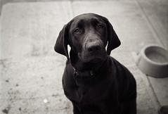 Mona (theshotsofwhiskey) Tags: dog film lab labrador minolta kodak trix 2014 littlelake