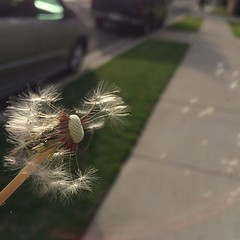I wish... (Neddie Facio Photography) Tags: nature square photography random dandelion squareformat outandabout nofilter iwish makeawish iphoneography instagramapp