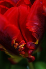 Parrot tulip 2 (suzanne.gibson) Tags: flowers red macro nature closeup tulips fineart blooms parrottulip