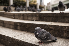 Pigeon of winter (SatoKXy) Tags: pigeon nihonbashi