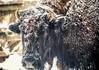 Snow Buffalo (chertok88) Tags: outdoors buffalo wildlife newhampshire nh tatonka zoomlens bisin granitestate gilfordnh lakesregion townofgilford bolducfarm