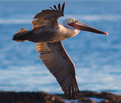 The Pelican Brief (Jonathan Goody) Tags: ocean california ca usa beach pelicans coast flying unitedstates wildlife seagull unitedstatesofamerica flight pelican newportbeach newport coastline southerncalifornia orangecounty southcoast birdofpray