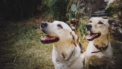 Barbara, Capuchina y Silveria (bdebaca) Tags: pet pets dogs labrador perros mascotas