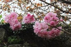 Blossom. 97/365. (Sunchild57 Photography. Taking a break.) Tags: blossom monday project365 742014 thrapstonchurchyardnorthamptonshireengland