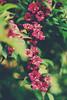 126/365 | garden blob... (Marta A Orlowska) Tags: pink flowers plants green london nature canon project garden outdoors 50mm spring flora bright 365 day126 newmalden