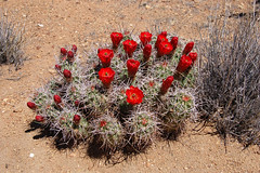 Mojave mound, California, Joshua Tree National Park (EC Leatherberry) Tags: california cactus nationalpark nationalparkservice wildflower mojavedesert joshuatreenationalpark desertwildflower redwildflower mojavemound moundcactus echinocereusmojavensis bloomingwildflower bllloming