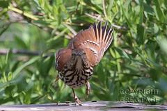 Brown Thrasher (gregpage1465) Tags: brown galveston bird nature photography photo texas greg wildlife picture page thrasher brownthrasher toxostomarufum gregpage
