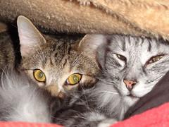 Loki und Bragi (alekevilhelmsdottir) Tags: cats unter under decke blanket katzen cuddling kuscheln higing erstecken