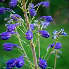 Delphinium 3 (David S Wilson) Tags: uk flowers england flower ely fens 2014 flowersplants davidswilson lightroom5 panasonic1235mmf28lens panasonicdmcg5