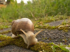 Snail on tour (Oliver Deisenroth) Tags: nature animal snail schnecke tier weinbergschnecke