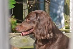 Link (Tobyotter) Tags: dachshund link doxie chocolatedachshund