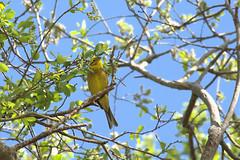 Bruant jaune (ArnoKerlann) Tags: tree bird nature jaune bretagne oiseau fort bois finistre bruant
