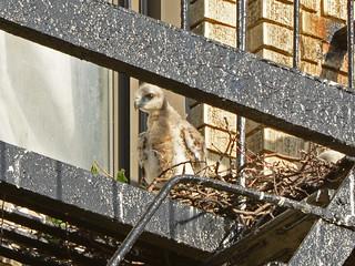 JHW Hawk Nestling (9832)