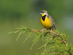 Eastern Meadowlark (nomoredarkroom) Tags: avianexcellence