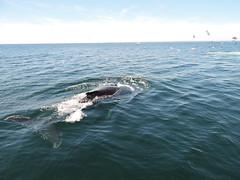 DSCN1086 (aurospio) Tags: offshore massachusetts chatham whales humpback necwa