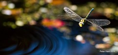 Ripples beneath wings. Ondulations sous les ailes ID help? (Peter J. Ham) Tags: life sun luz sol nature water sunshine canon de la soleil flying pond do y dragonflies action natureza natur flight insects beaut vida da beleza ripples aquatic insekten insectes flut