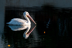 Pelican at sunrise (fenicephoto) Tags: red