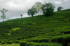 Green (piper969) Tags: verde green thailand hill thailandia collina the piantagione
