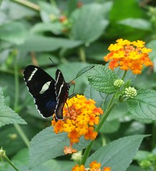 DSCF7132 (Sandra L Ekins) Tags: nature butterfly insect chesterzoo dorislongwing heliconiusdoris butterflyjourney