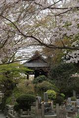 Kamakura | Sakura (Toni Kaarttinen) Tags: japan  japonia    jap japonsko jaapan  japani japon xapn    japn jepang an tseapin giappone  japna japonija  japo  japonska japn hapon  japonya nht bn japanese kamakura formercapital hanami sakura cherryblossom cherryblossoms cherries temple shrine zen garden