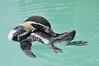 Humboldt Penguin 3