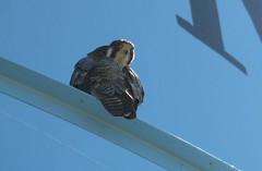 PerigrineFalcon (JonathanDzoba) Tags: dzoba jonathandzoba perigrinefalcon falcoperegrinus southpadreislandbirdingcenter padreisland texas
