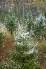 Spindelvev på liten granbusk (Statskog SF) Tags: hogst hogstfelt skogbruk skogsdrift dugg spindelvev tømmer skog