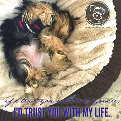 Not much is more important than my Yorkie! (itsayorkielife) Tags: yorkiememe yorkie yorkshireterrier quote