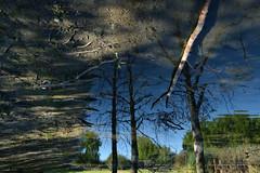 L'albero si specchiava - The tree is reflected. (sinetempore) Tags: lalberosispecchiava thetreeisreflected acqua water riflesso reflection alberi tree luce light ombre shadow pozzanghera puddle rami branches