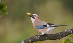 Jay (Garrulus gladarius). (Bob Eade) Tags: birds jay garrulusglandarius eastsussex woodland blue pink acorn autumn oak corvid crow