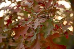 Oak Bundle (SunnyDazzled) Tags: eastern black oak autumn leaves orangecounty newyork fall foliage glow evening nature tree