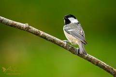 Coal Tit (ABPhotosUK) Tags: animals birds canon coaltit dartmoor devon ef100400mmisii eos7dmarkii garden paridae periparusater tits wildlife