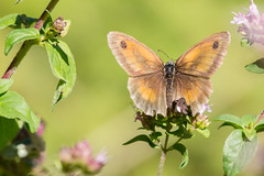 Bain de soleil (Florian Commaret) Tags: bug bugs beautiful butterfly papillon nature sun soleil summer srping printemps sigma 150 canon macro flower fleur lepidoptera