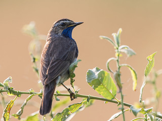 Blue throat and golden light [Explored 2016-11-07] - Blaue Kehle und goldenes Licht (Joe)