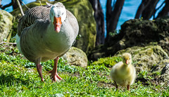 Mother and Gosling (Kiwi-Steve) Tags: goose gosling bird nz newzealand rotorua lakerotorua nikon nikond7200 geese baby mother