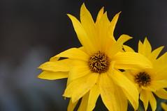 Rudbeckia Laciniata 15.10 (6) (tabbynera) Tags: rudbeckia