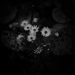 flowers (s_inagaki) Tags: flowers helsinki finland snap nature blackandwhite bnw bw