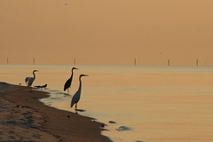 Taking in the Dawn (FilmandFocusPhoto) Tags: canon 75300 75300mm outdoors outdoor nature natural naturallight availablelight sunlight daylight sunshine dawn bird water shore sand birds animal animals heron herons horizon peaceful peace beautiful beauty photoshopfree noprocessing untouched unedited noedit unaltered silhouette silhouettes