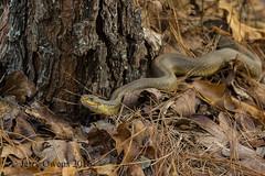 8816 (JerrysPhotographs) Tags: arkansas hognose reptile snake wildlife