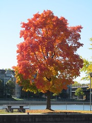 Fall color at the canal (Quevillon) Tags: canada qubec montral sainteannedebellevue tree mapletree